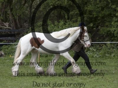 CLASS 2. CHAPS (UK) Native/Cob/Trad Inhand Pony Qualifier