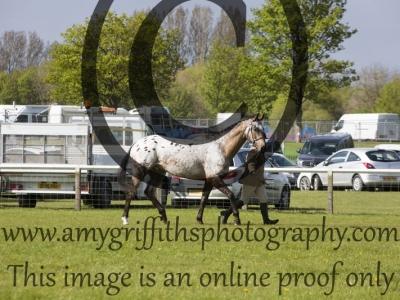 Class 20 – Gelding/Stallion