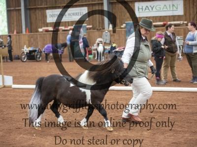 Class 6 – Miniature Shetland 4 years+ Stallion