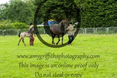 Class 42- Riding Pony Brood Mare