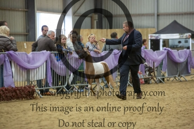 """Class 85 – Junior Stallion Two Year Olds over 31"""" up to & Incl 33"""""""