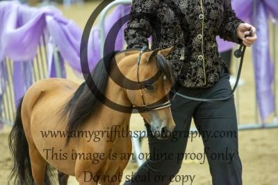 Grand Champion Senior Stallion