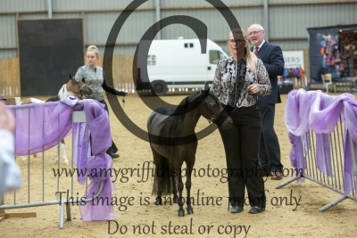 """Class 109 – AMHR Junior Mare – Over 33"""" Yearlings and Two Year Olds"""