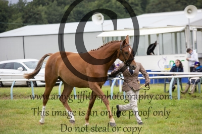 Class 69- Hack, Riding Horse Hunter Type Youngstock