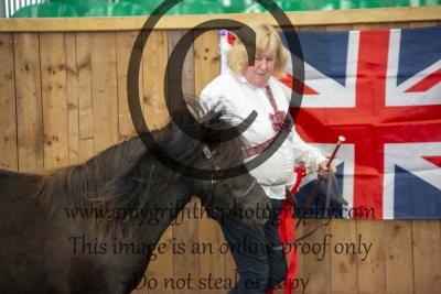 Grand Champion Shetland