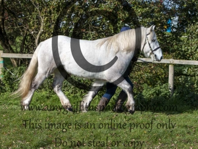 Class 79 – Inhand M&M Large Breeds excl Welsh