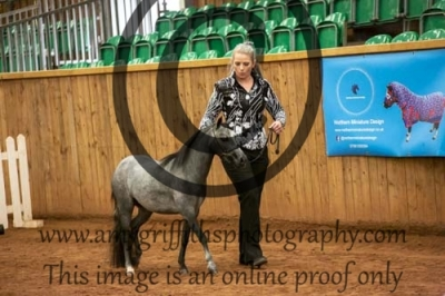 """Class 42- AMHR Junior Mare 2yrs & younger – 33"""" & under"""