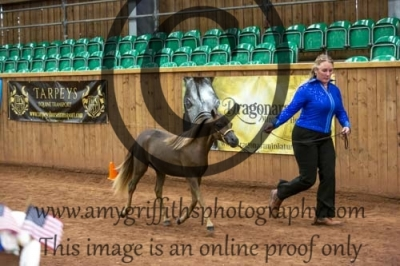 Class 39b- AMHR Junior Stallions 2yrs & Younger – 34″ & Over