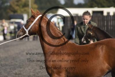 Foal Supreme
