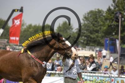 Class 7- Heavy Horse Gelding 4+