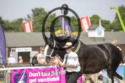 Class 14- Shire Horse HOYS Qualifier